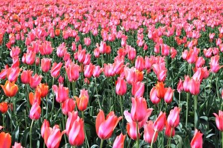 Tiptoeing Through Tulips and Oregon's Coast