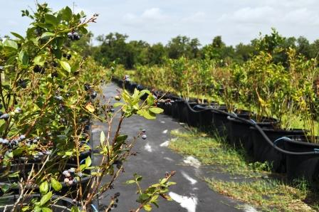 Blueberry Bushes at English Lake Farm, U-Pick Farm in Southwest Florida