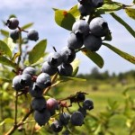 Blueberry Picking in Fort Ogden, Florida