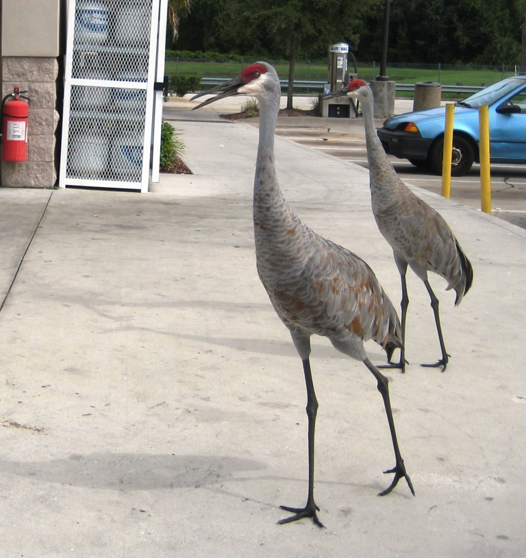 Wordless Wednesday: Panhandling Cranes