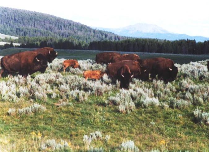 Bison in Hayden Valley, Yellowstone National Park, WY