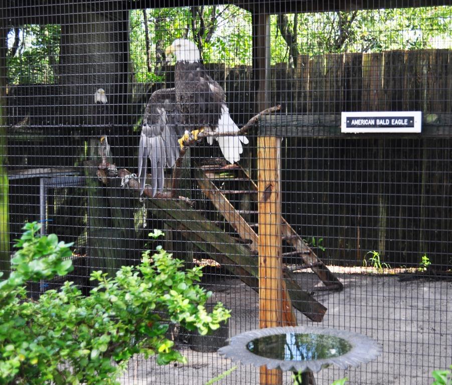 Bald Eagles at Peace River Wildlife Center, Punta Gorda, Fla.