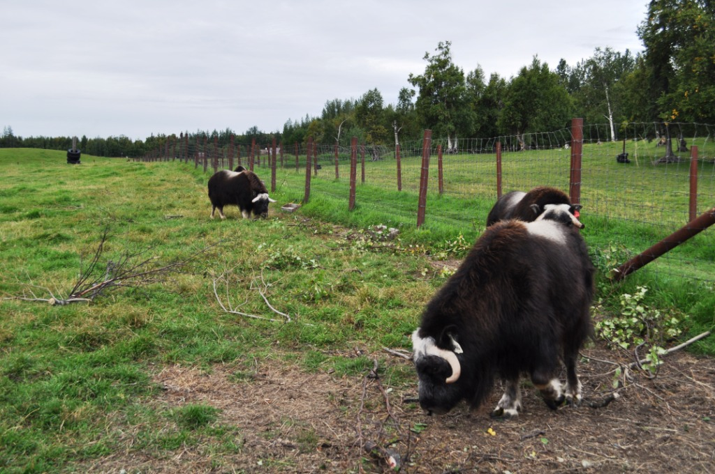 Musk Ox Graze on the Farm in Palmer, Alaska
