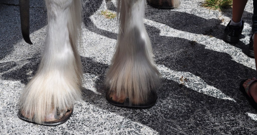 Wordless Wednesday: Equine-azzi in Punta Gorda for Budweiser Clydesdales