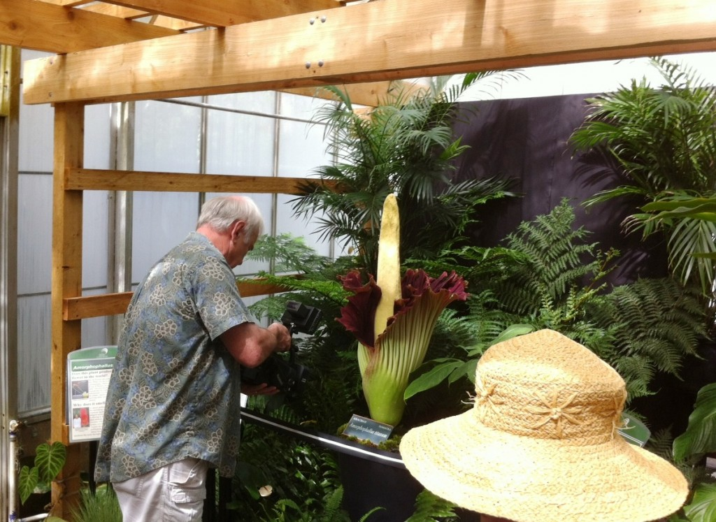 The Corpse Flower is Ready for Its Close Up, June 10, 2012, Marie Selby Botanical Gardens, Sarasota, Fla.