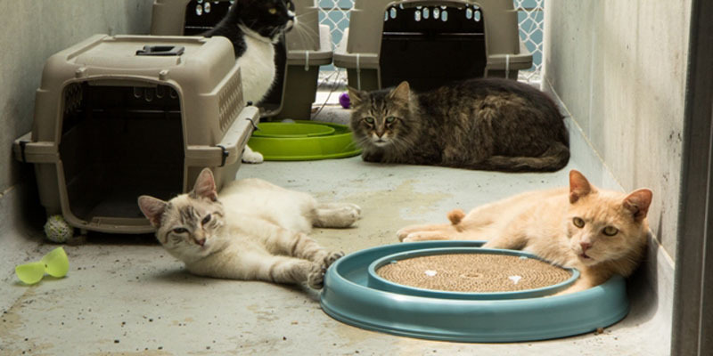 Mega Adoption Events Set for Hundreds of Caboodle Ranch Cats Rescued by the ASPCA. (PRNewsFoto/ASPCA) 