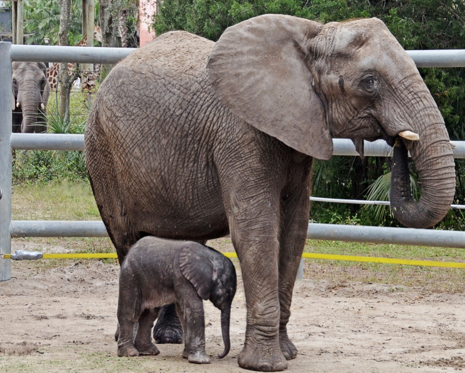 Stork Delivers Baby Elephant to Tampa's Lowry Park Zoo