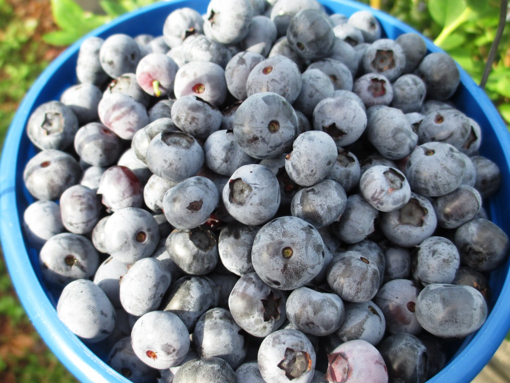 Berrylicious! Blueberries Picked from Berry Best Farm in Punta Gorda, Fla.