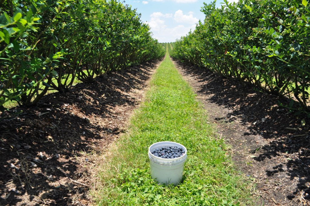 Bucket of Berries from Spring Valley Farms' 2013 Blueberry Gleaning