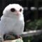Meet Punta Gorda's One-of-a-Kind Resident, a White Screech Owl